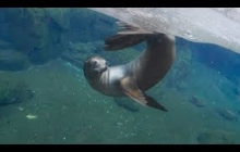 Sea lions may inspire 'strokes' of genius